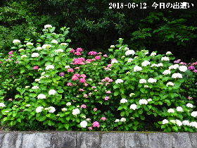 2018-06・12 今日の出遭い・・・ (3).JPG