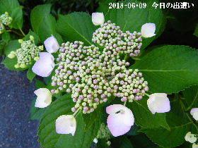 2018-06・09 今日の出遭い・・・ (4).JPG