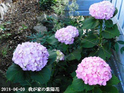 2018-06・09 我が家の紫陽花 (1).JPG