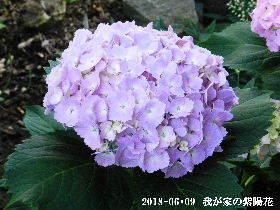 2018-06・09 我が家の紫陽花 (3).JPG