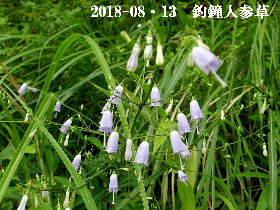 2018-08・13 里山の山野草 (1).JPG