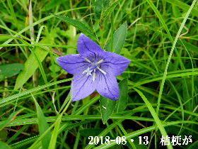 2018-08・13 里山の山野草 (2).JPG