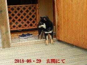 2018-08・29 今日の麻呂 (7).JPG