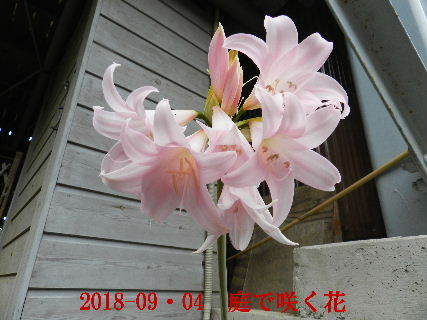 2018-09・04 我が家のスナップ・・・ (1).JPG