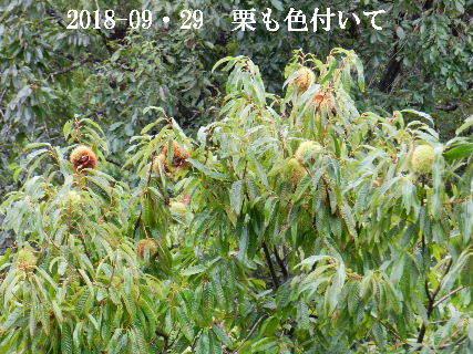 2018-09・29 里山も秋の実りが.JPG