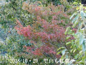 2018-10・29 里山も紅葉が進んで (3).JPG