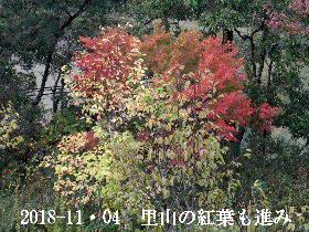 2018-11・04 里山の樹木も紅葉を (2).JPG
