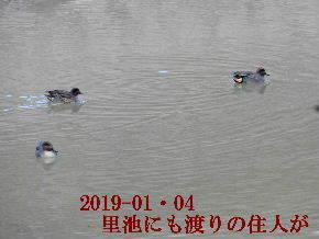 2019-01・04 今日の里池には (2).JPG