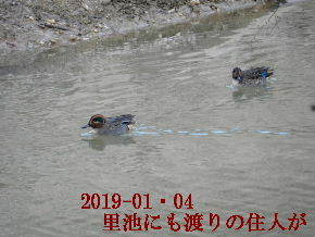 2019-01・04 今日の里池には (3).JPG