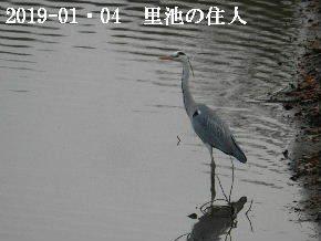 2019-01・04 今日の里池には (4).JPG