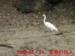 2019-01・04 今日の里池には (5).JPG