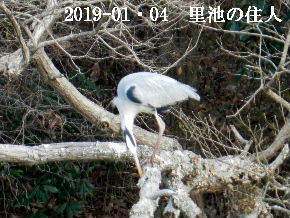 2019-01・04 今日の里池には (6).JPG