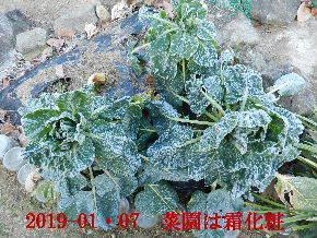 2019-01・07 今日の菜園模様 (2).JPG