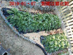 2019-01・07 今日の菜園模様 (4).JPG