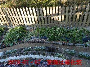 2019-01・07 今日の菜園模様 (6).JPG