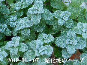 2019-01・07 里山は今日も霜化粧 (8).JPG