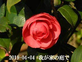2019-04・04 我が家のスナップ・・・ (10).JPG