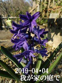 2019-04・04 我が家のスナップ・・・ (11).JPG
