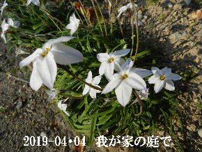 2019-04・04 我が家のスナップ・・・ (8).JPG