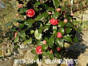 2019-04・04 我が家のスナップ・・・ (9).JPG