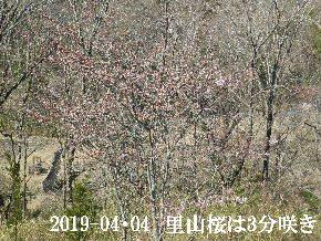 2019-04・04 里山の桜は・・・ (1).JPG