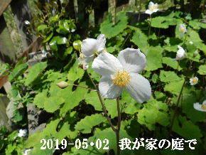 2019-05・02 我が家の庭で・・・ (1).JPG
