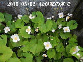 2019-05・02 我が家の庭で・・・ (2).JPG