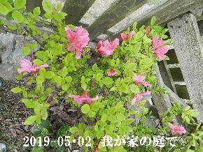 2019-05・02 我が家の庭で・・・ (3).JPG