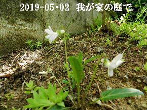 2019-05・02 我が家の庭で・・・ (5).JPG