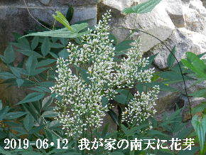 2019-06・12 我が家の庭で・・・ (4).JPG