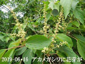 2019-06・16 今日の出遭い・・・ (3).JPG