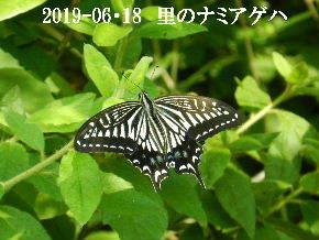 2019-06・18 里の昆虫達・・・ (2).JPG