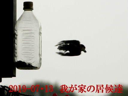 2019-07・13 里の野鳥達・・・ (3).JPG