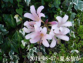 2019-08・07 今日の出遭い・・・ (3).JPG