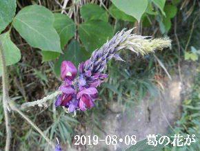 2019-08・08 葛の花が・・・.JPG
