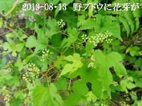 2019-08・13 今日の出遭い・・・ (1).JPG