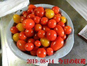 2019-08・14 今日の収穫・・・ (3).JPG