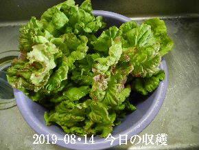 2019-08・14 今日の収穫・・・ (4).JPG