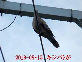 2019-08・15 里の野鳥達 (1).JPG