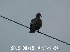2019-08・15 里の野鳥達 (2).JPG