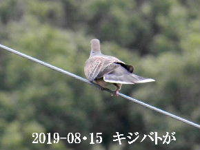 2019-08・15 里の野鳥達 (3).JPG