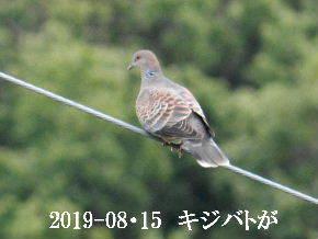 2019-08・15 里の野鳥達 (4).JPG