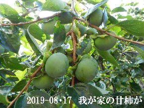 2019-08・17 我が家のスナップ・・・ (2).JPG