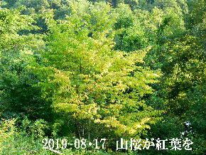 2019-08・17 里山の山桜は (1).JPG