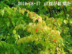 2019-08・17 里山の山桜は (2).JPG