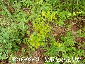 2019-08・21 里の山野草・・・ (3).JPG