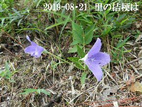 2019-08・21 里の山野草・・・ (5).JPG