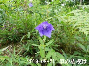2019-08・21 里の山野草・・・ (6).JPG