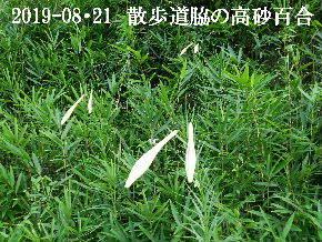 2019-08・21 里の山野草・・・ (9).JPG