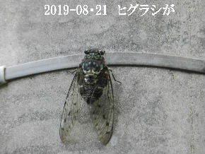 2019-08・21 里の昆虫達・・・ (3).JPG